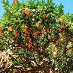 orange tree monaco